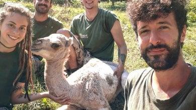 Demetra Adriana,  cucciola di dromedario l'ultima nata al parco safari di Murazzano