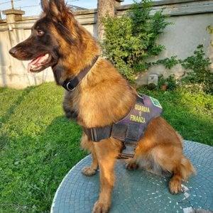 Torino, il cane antidroga scopre 100 ovuli di cocaina ed eroina nascosti nello stomaco