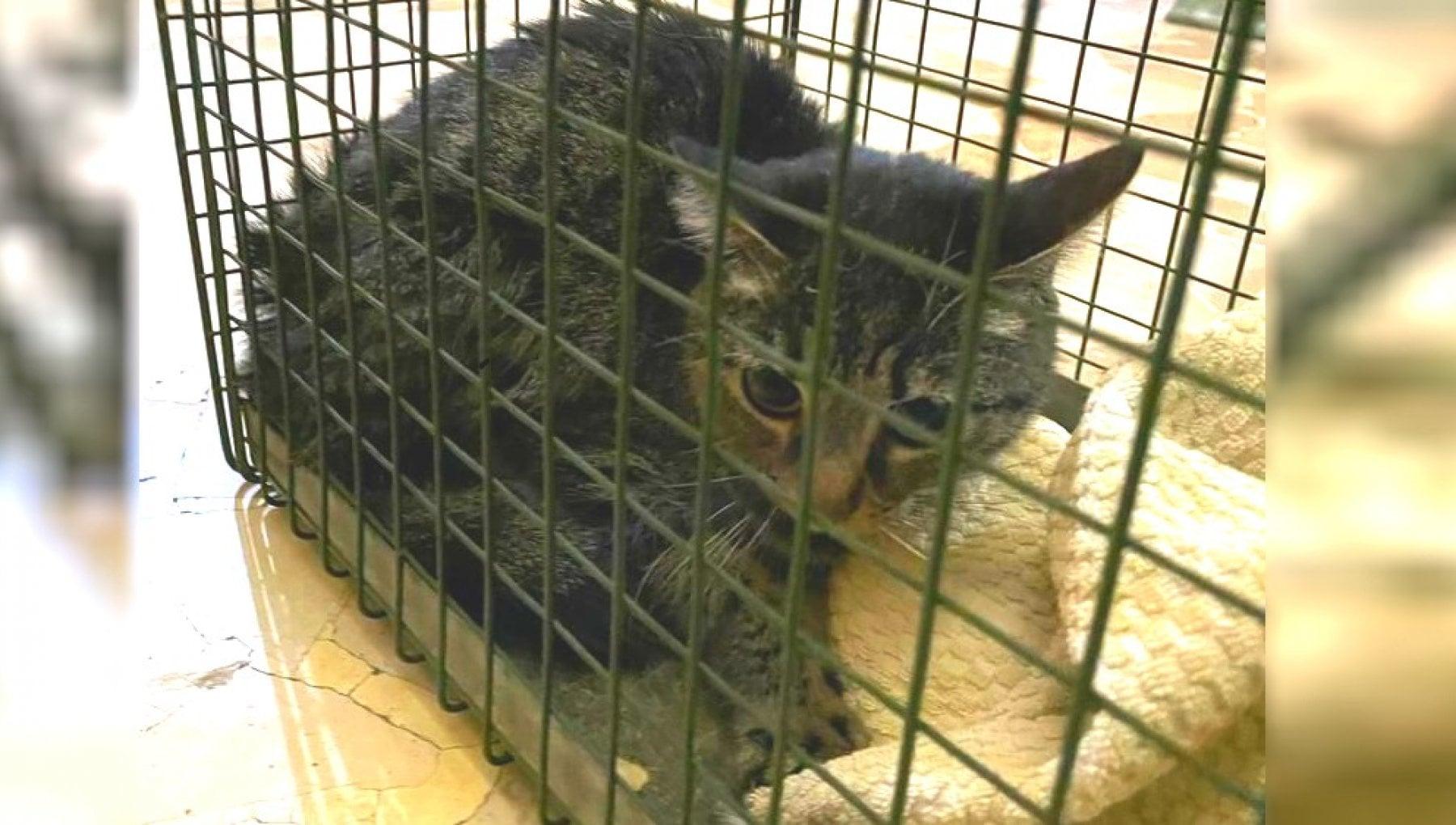 Torino, rovescia zuccheriera e lecca per terra: così un gattino è sopravvissuto un mese dopo la morte del …