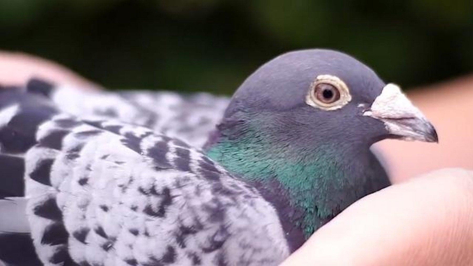 Piccione pi/ù elaborato regalo di allevamento di piccioni Maglietta