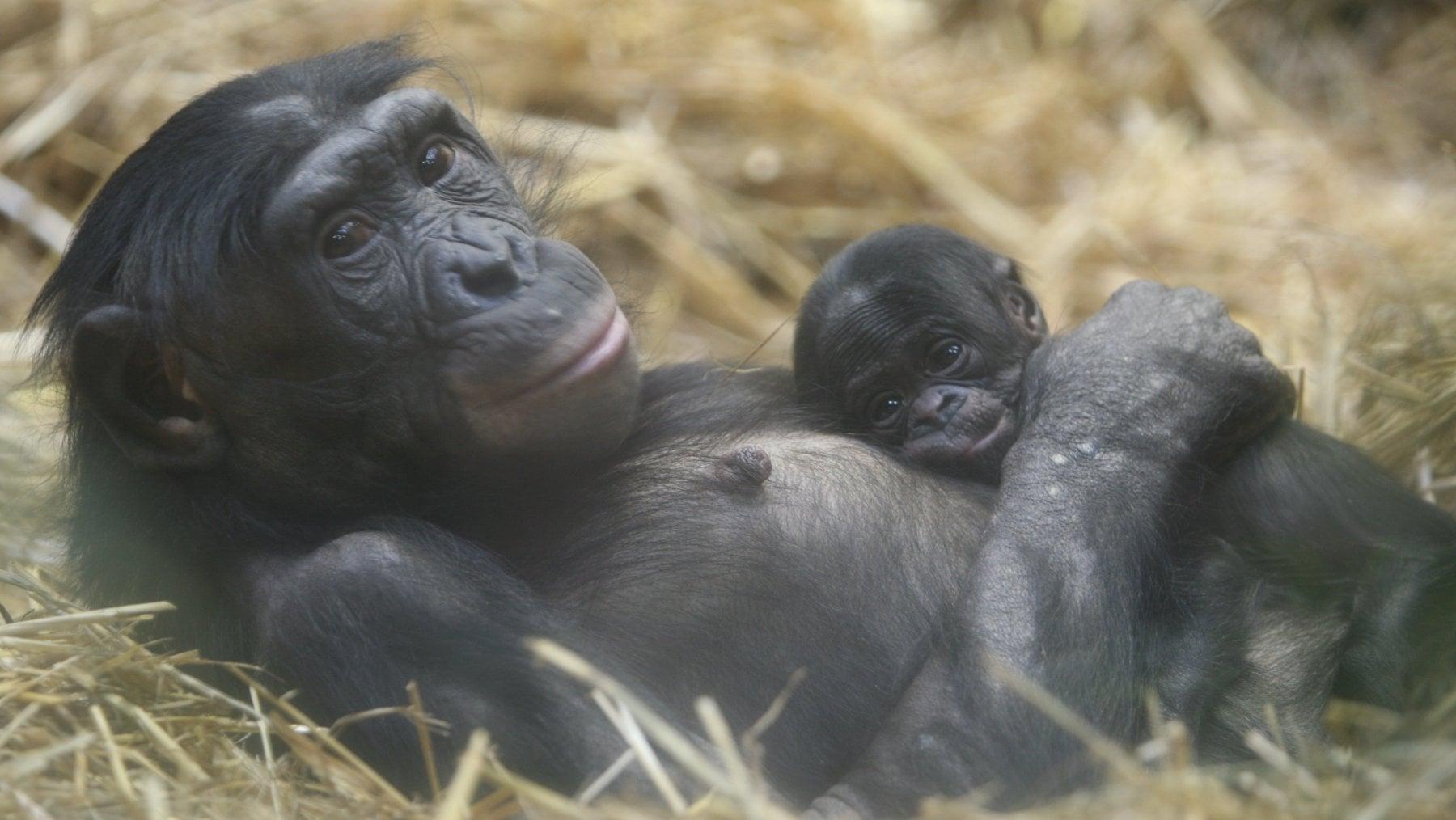 Il bonobo? E' più simile all'uomo che allo scimpanzé