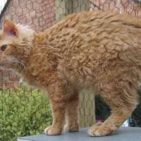 Rosso, bianco o grigio: il gatto riccio è una razza a sé