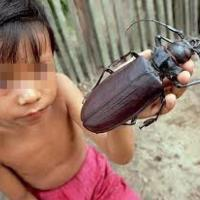 Insetti tropicali: il coleottero pi&ugrave; grande del mondo<br />&nbsp;