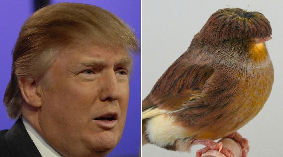Somiglianze imbarazzanti: il canarino sembra Donald Trump