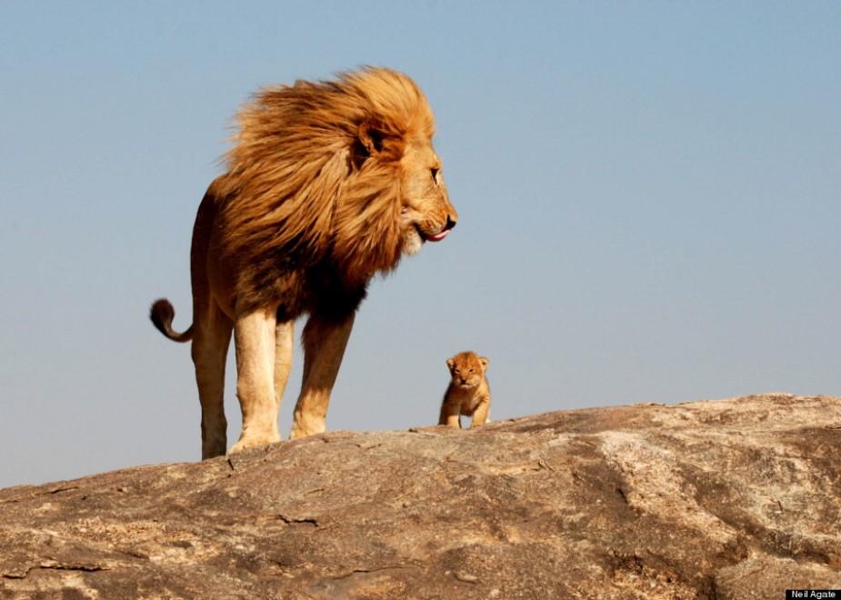 Simba e Mufasa: il vero re leone nel bush africano