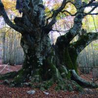 Tremila anni e non sentirli: ecco gli alberi più vecchi del mondo