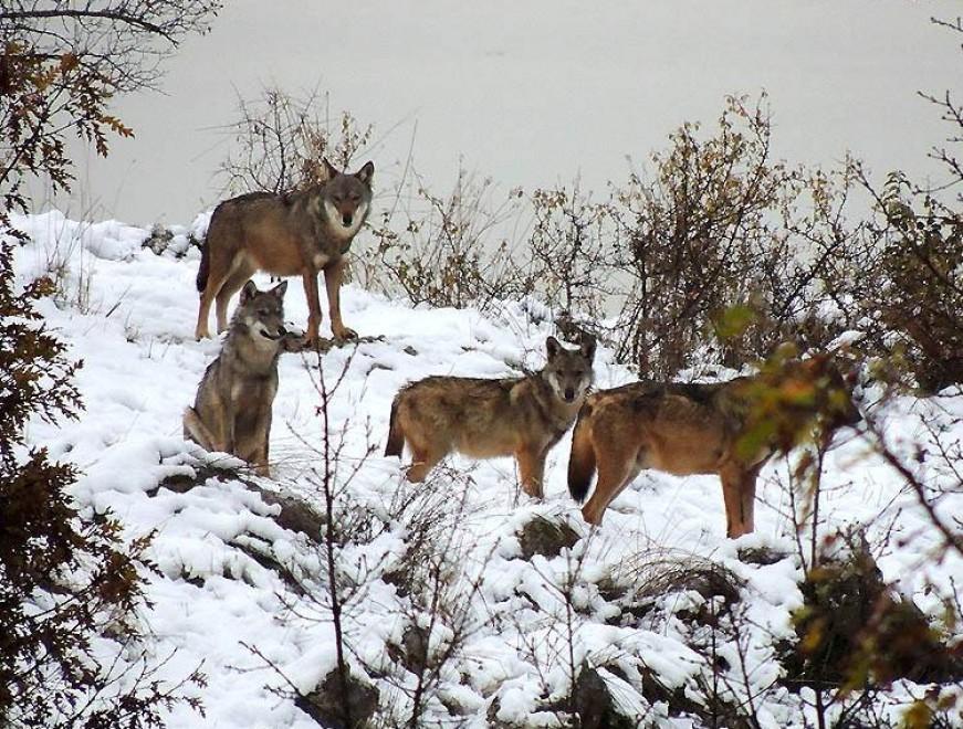 Abruzzo, lupi e camosci sotto la prima neve