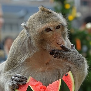 """""""L'uomo è un incrocio tra scimpanzé e maiale"""": l'ipotesi shock dello scienziato McCarthy"""