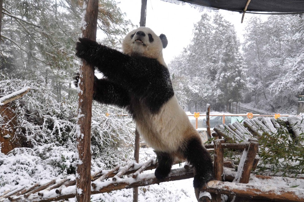 Cina, la pole dance del panda gigante