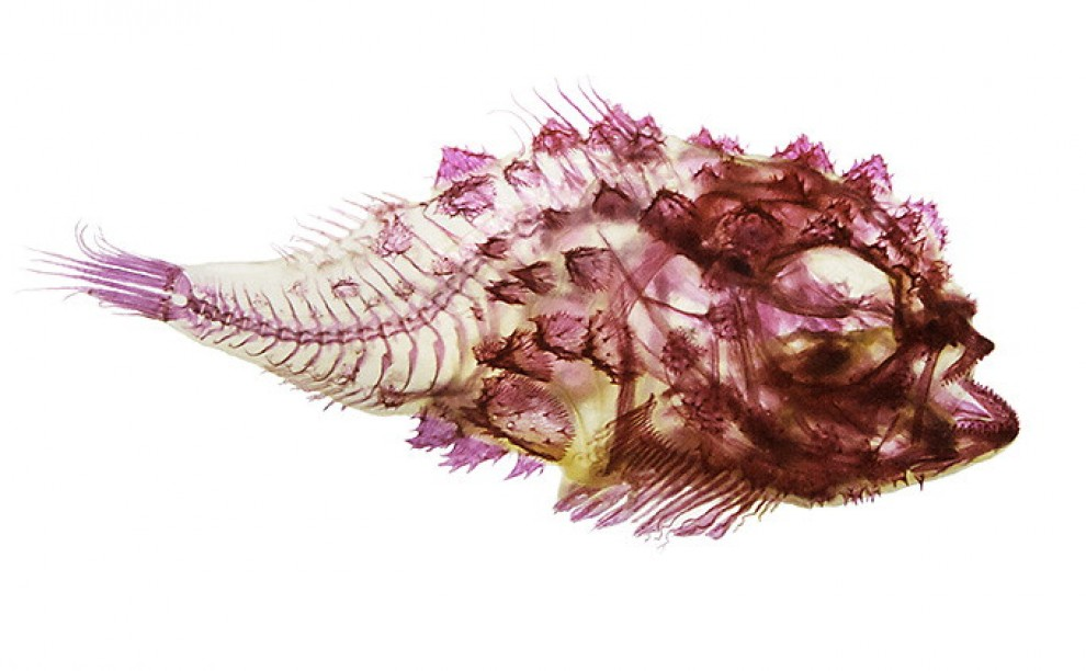 Pesci in multicolor, effetto raggi X tra scienza e arte
