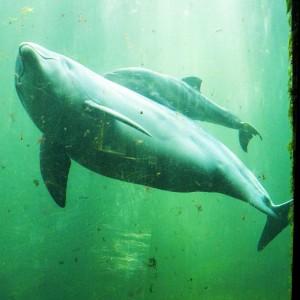 Delfini e pesce palla