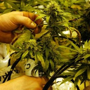 M5S propone depenalizzazione delle droghe leggere. E Torino è la prima città d'Italia a dire sì alla cannabis