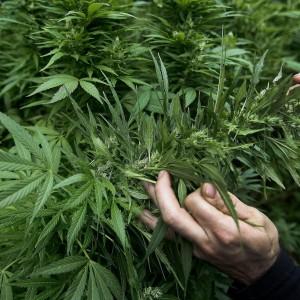 Cannabis, sì all'uso terapeutico. Dal Pd una legge ad hoc
