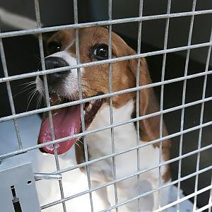 Test sugli animali, Bruxelles vuole denunciare l'Italia alla Corte di giustizia Ue