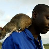 L'allarme degli scienziati: si avvicina l'era dei topi XL