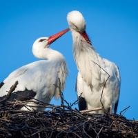 Polonia, nidificano le cicogne: la primavera è alle porte