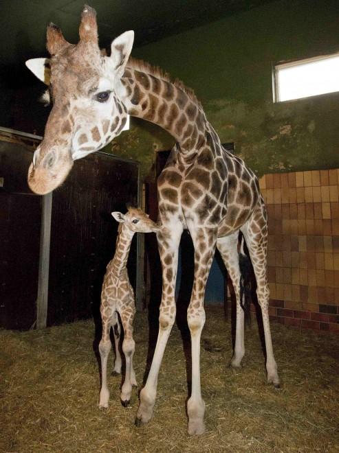 Danimarca, graziato Marius 2. La giraffa non sarà abbattuta