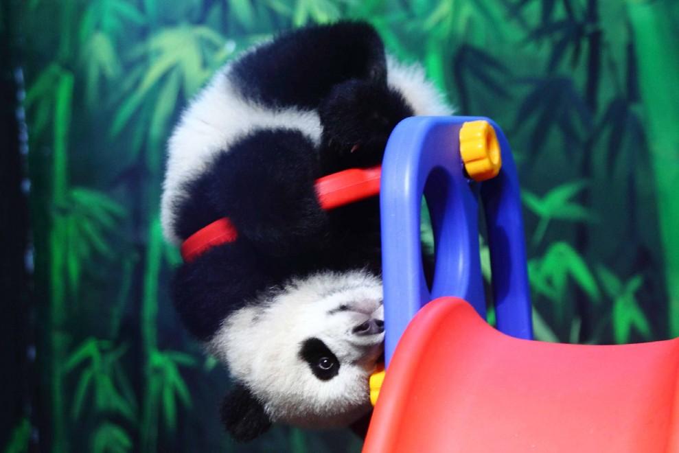 Cina, il panda acrobata: a testa in giù sullo scivolo