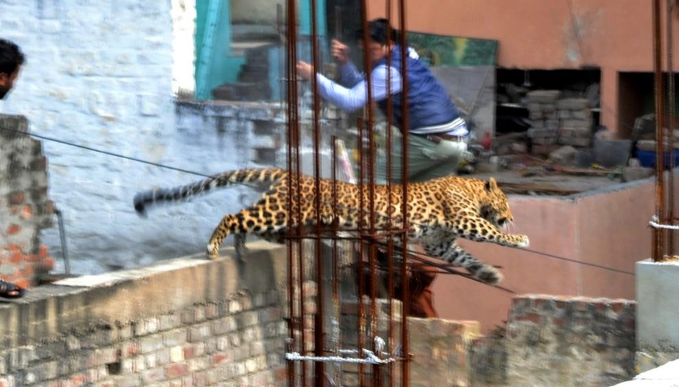 India, paziente non previsto: irruzione del leopardo in ospedale