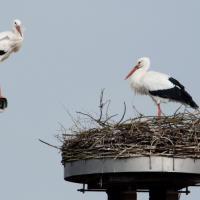 Germania, la cicogna nidifica sulla telecamera di sicurezza