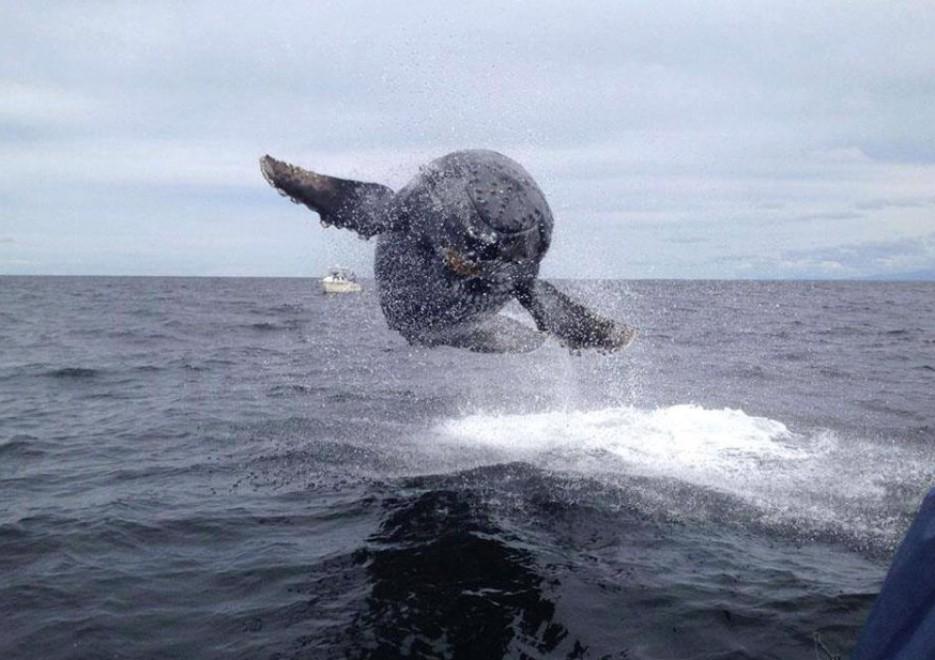 Hawaii, la balena volante: show a pelo d'acqua