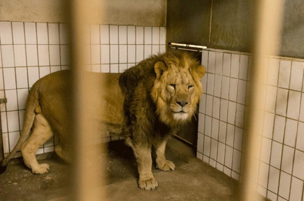 Copenaghen, quattro leoni uccisi nello zoo di Marius 194125552-e9e35ec7-eb81-4f19-bf2c-60d9691c2540