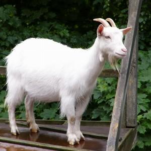 Le capre non sono capre uno studio ne dimostra l - Immagini da colorare capra ...