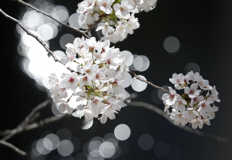Tokyo fiorisce, lo spettacolo dei ciliegi a primavera
