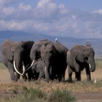 Gli elefanti riconoscono il nemico dalla voce