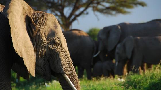 Gli Elefanti Sanno Chi è Il Loro Nemico Lo Capiscono Dalla Voce