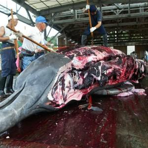 Giappone, Corte giustizia internazionale blocca la caccia alle balene