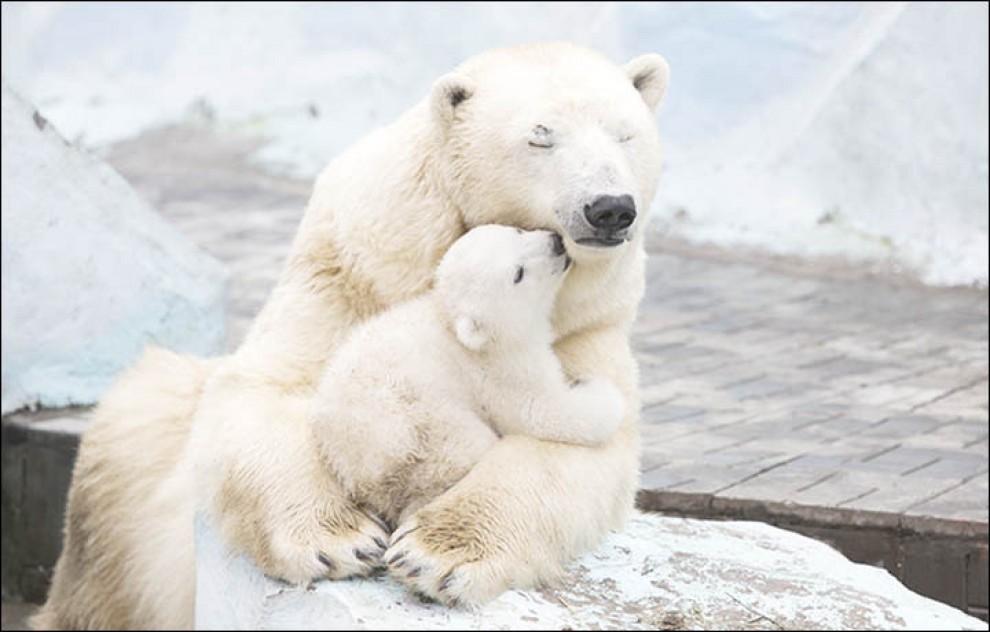 La comodità di un abbraccio: mamma orsa avvolge il cucciolo