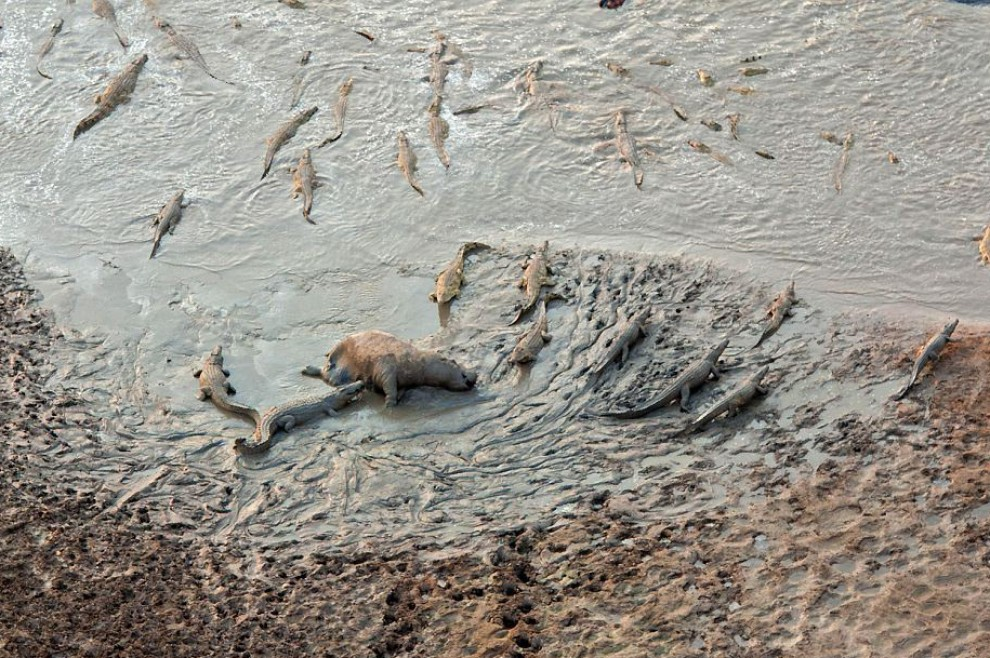 Zambia, ippopotami vs coccodrilli: la battaglia epica