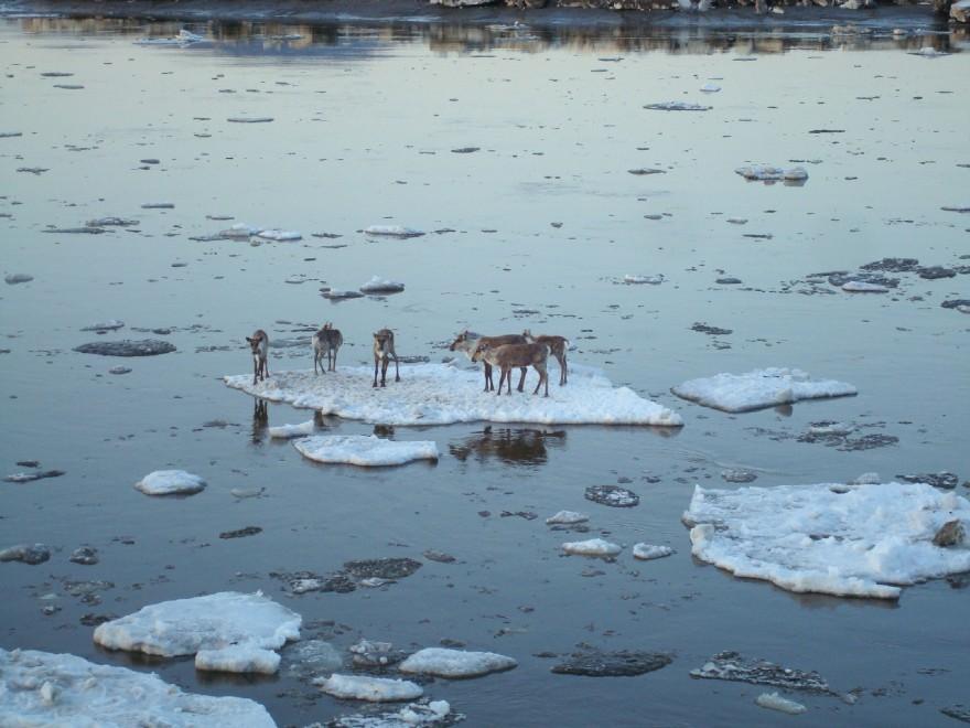 Alaska, la disavventura dei 6 caribù alla deriva sul ghiaccio: salvi
