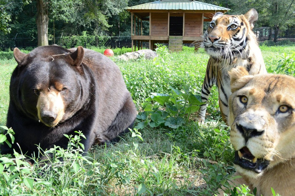 Il libro della giungla in uno zoo. L'amicizia di un leone