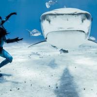 """""""Lacrime di una sirena"""", danza tra gli squali tigre: protesta contro il massacro"""