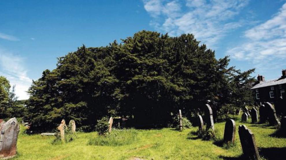 Galles, scoperto l'albero più vecchio della Gran Bretagna: 5mila anni