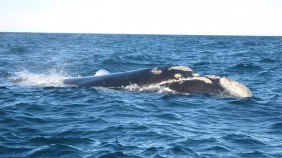 Caccia alle balene, il Giappone la riprenderà nonostante il divieto dell'Aia