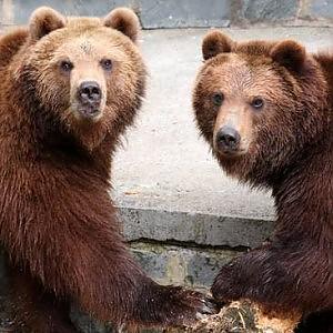 """Orsi """"dannosi"""" potranno essere abbattuti in Trentino"""