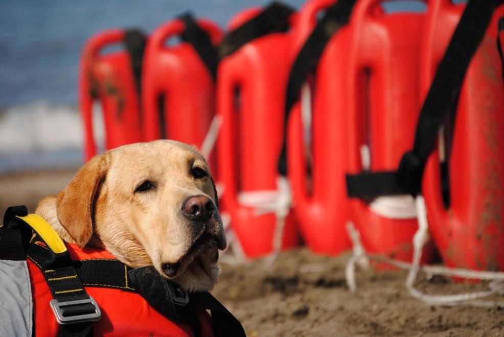 Pronti per il salvataggio : ecco l'esercito dei cani-bagnino