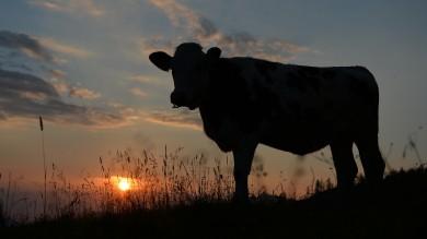 Riscaldamento globale il 28% viene dal bestiame