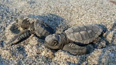 Costa dei Gelsomini, la culla della tartarughe Caretta caretta   Foto
