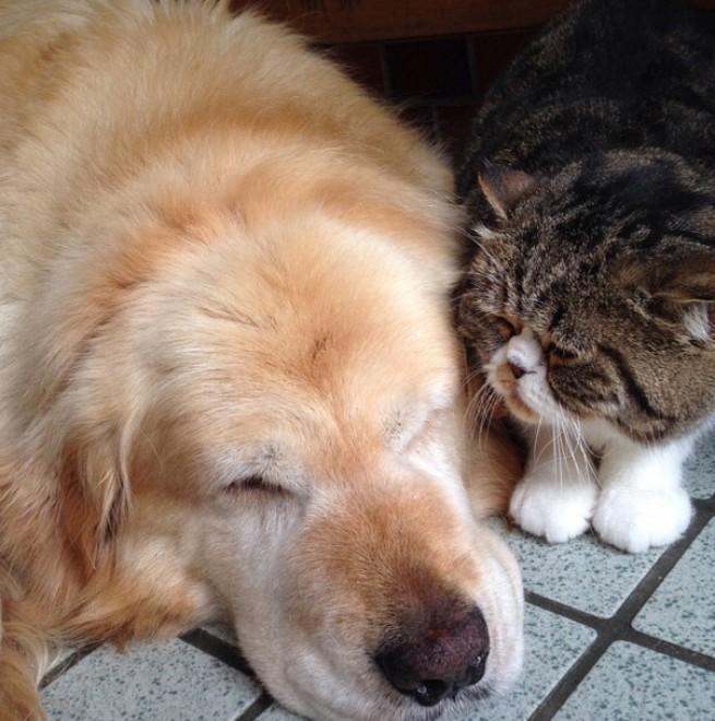 Il golden retriever e il gatto: l'amicizia improbabile