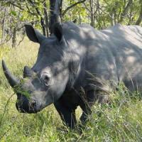 Rinoceronti, al parco Kruger evacuazione di massa per sfuggire al bracconaggio