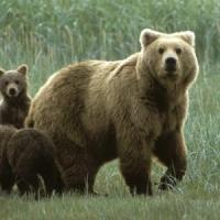 Trentino, orsa con i cuccioli attacca cercatore di funghi. Caccia nei boschi di Pinzolo