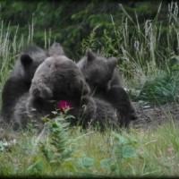 Trentino, proseguono le ricerche dell'orsa Daniza