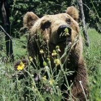 """""""Salviamo i cuccioli"""". Ecco la linea del ministero dell'Ambiente sul caso dell'orsa Daniza"""