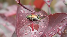 Il coleottero giapponese pericolo per piante e fiori