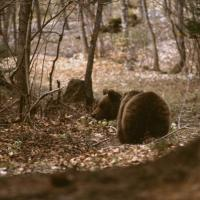 Ecco la foto dell'orsa Daniza
