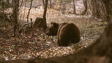 """Trappole al miele, ma l'orsa resta in fuga Messner: """"Spazio è poco, vanno limitati"""""""